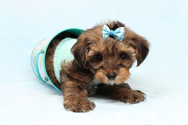 George Lopez - Teacup Morkie Puppy found a home with Majd B from Ventura CA 93004-24767