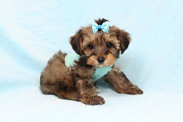 George Lopez - Teacup Morkie Puppy found a home with Majd B from Ventura CA 93004-24764