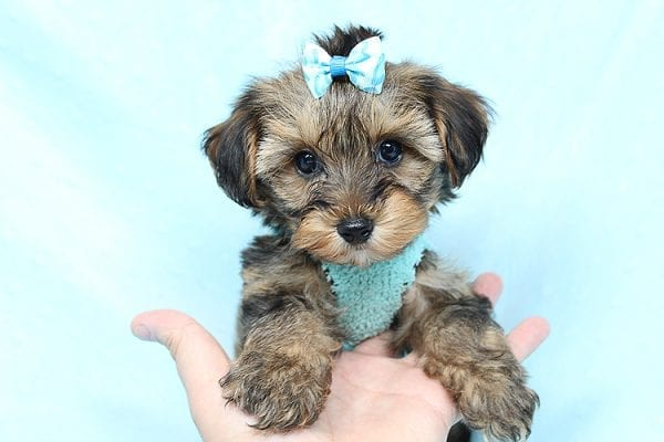 George Lopez - Teacup Morkie Puppy found a home with Majd B from Ventura CA 93004-0
