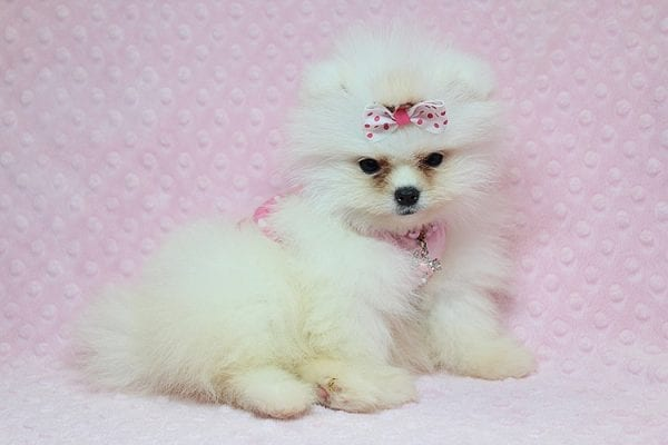 Giselle Bundchen - Teacup Pomeranian Puppy has found a good loving home with Cedric from Fayetteville, GA 30215-25259