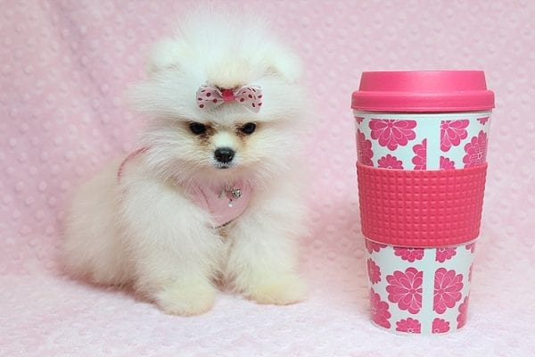 Giselle Bundchen - Teacup Pomeranian Puppy has found a good loving home with Cedric from Fayetteville, GA 30215-25258