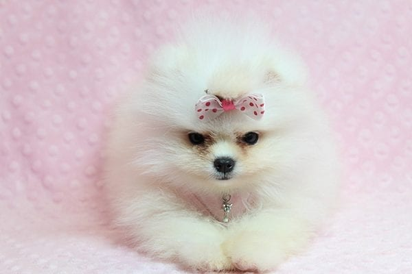 Giselle Bundchen - Teacup Pomeranian Puppy has found a good loving home with Cedric from Fayetteville, GA 30215-25260