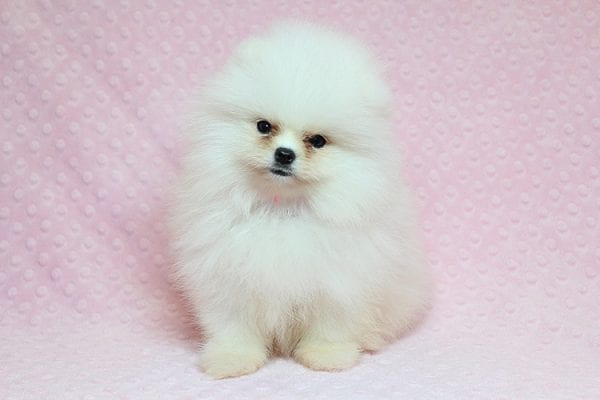 Giselle Bundchen - Teacup Pomeranian Puppy has found a good loving home with Cedric from Fayetteville, GA 30215-25254