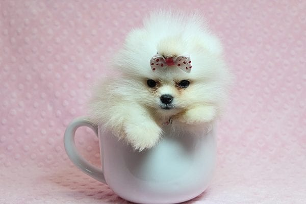 Giselle Bundchen - Teacup Pomeranian Puppy has found a good loving home with Cedric from Fayetteville, GA 30215-0