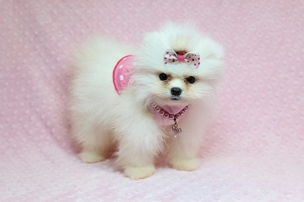 Giselle Bundchen - Teacup Pomeranian Puppy has found a good loving home with Cedric from Fayetteville, GA 30215-25255