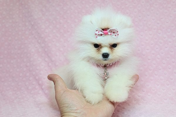 Giselle Bundchen - Teacup Pomeranian Puppy has found a good loving home with Cedric from Fayetteville, GA 30215-25256