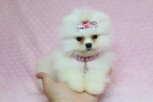 Giselle Bundchen - Teacup Pomeranian Puppy has found a good loving home with Cedric from Fayetteville, GA 30215-25257