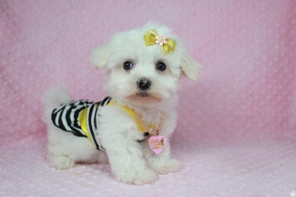 Hello Kitty - Teacup Maltese Puppy has found a good loving home with Justine from Conway, SC 29527-25036