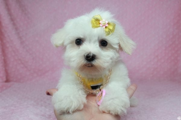 Hello Kitty - Teacup Maltese Puppy has found a good loving home with Justine from Conway, SC 29527-25037