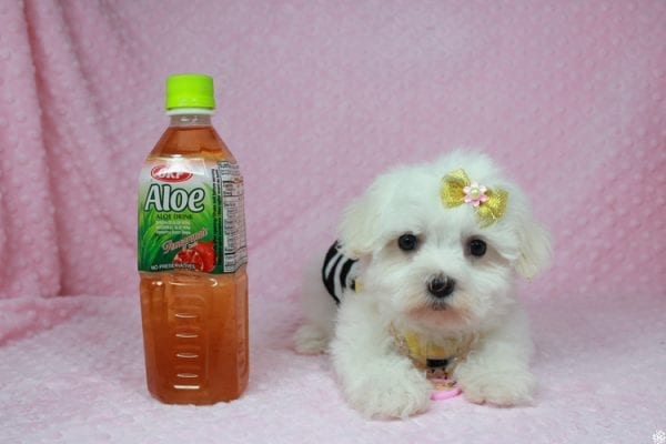 Hello Kitty - Teacup Maltese Puppy has found a good loving home with Justine from Conway, SC 29527-25038