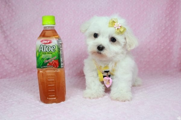 Hello Kitty - Teacup Maltese Puppy has found a good loving home with Justine from Conway, SC 29527-25041