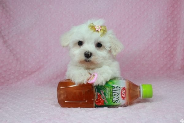 Hello Kitty - Teacup Maltese Puppy has found a good loving home with Justine from Conway, SC 29527-0