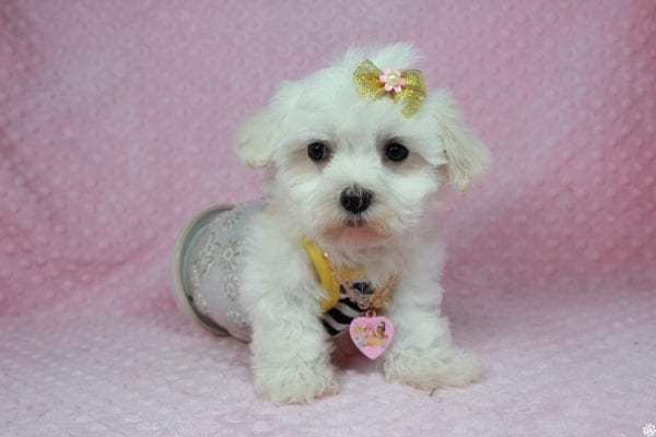 Hello Kitty - Teacup Maltese Puppy has found a good loving home with Justine from Conway, SC 29527-25039