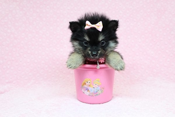 Jennifer Lopez - Teacup Pomeranian Puppy has found a good loving home with Cynthia from Las Vegas, NV 89149-24749