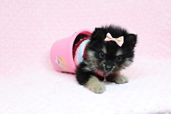 Jennifer Lopez - Teacup Pomeranian Puppy has found a good loving home with Cynthia from Las Vegas, NV 89149-0