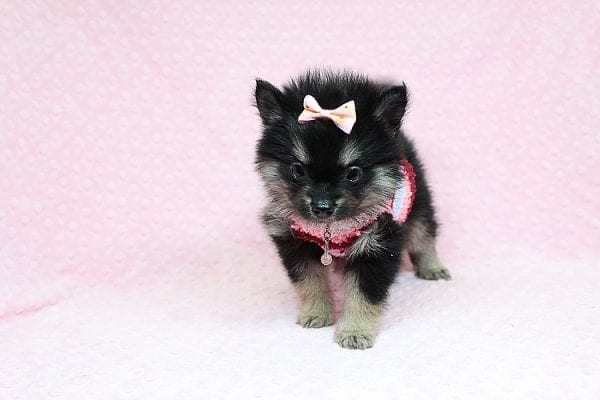 Jennifer Lopez - Teacup Pomeranian Puppy has found a good loving home with Cynthia from Las Vegas, NV 89149-24752