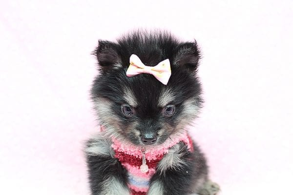 Jennifer Lopez - Teacup Pomeranian Puppy has found a good loving home with Cynthia from Las Vegas, NV 89149-24753