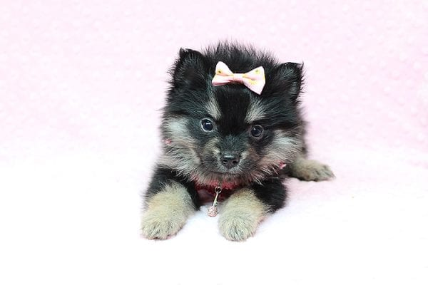 Jennifer Lopez - Teacup Pomeranian Puppy has found a good loving home with Cynthia from Las Vegas, NV 89149-24750