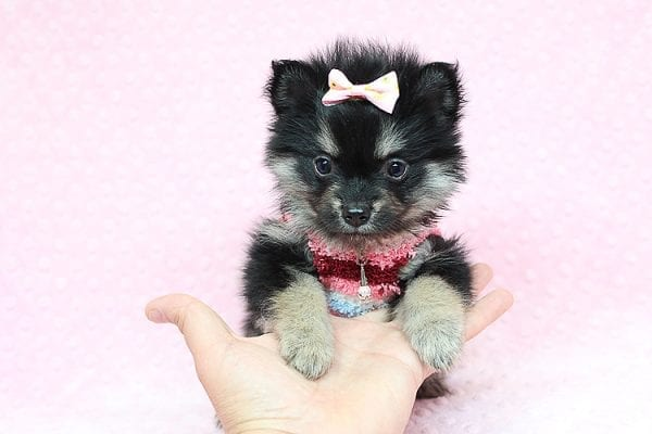 Jennifer Lopez - Teacup Pomeranian Puppy has found a good loving home with Cynthia from Las Vegas, NV 89149-24751
