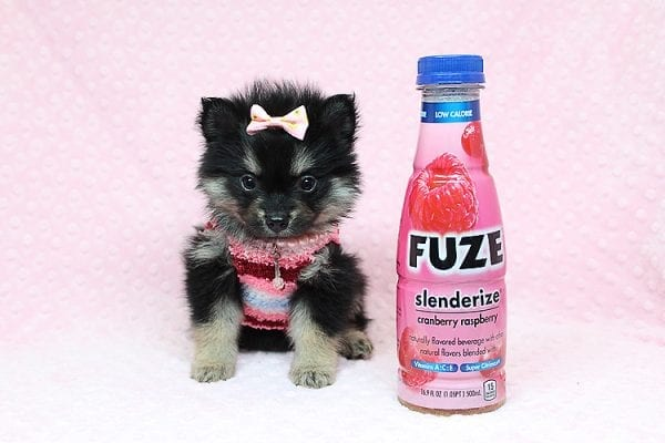 Jennifer Lopez - Teacup Pomeranian Puppy has found a good loving home with Cynthia from Las Vegas, NV 89149-24747