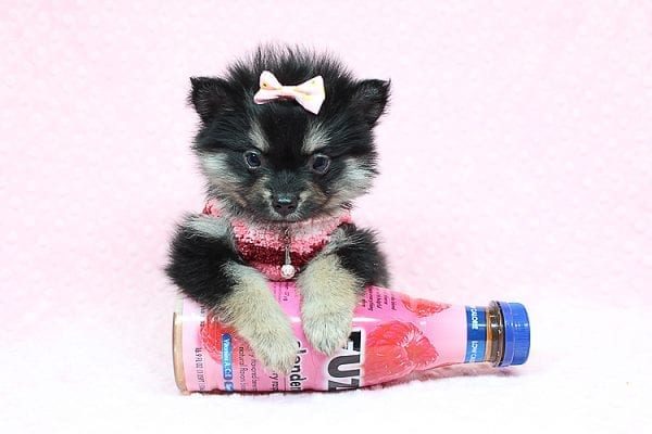 Jennifer Lopez - Teacup Pomeranian Puppy has found a good loving home with Cynthia from Las Vegas, NV 89149-24748