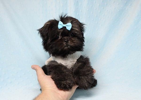 Kanye West - Teacup Shih Tzu Puppy Found His Good Loving Home With Duygu T. In Malibu CA, 90265-24946