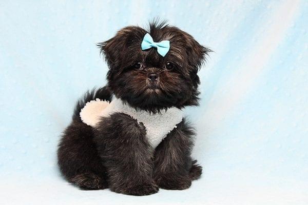 Kanye West - Teacup Shih Tzu Puppy Found His Good Loving Home With Duygu T. In Malibu CA, 90265-24954