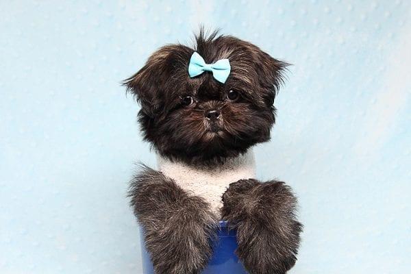 Kanye West - Teacup Shih Tzu Puppy Found His Good Loving Home With Duygu T. In Malibu CA, 90265-24955