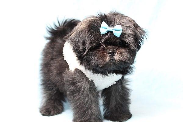 Kanye West - Teacup Shih Tzu Puppy Found His Good Loving Home With Duygu T. In Malibu CA, 90265-24957