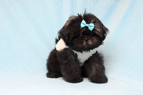 Kanye West - Teacup Shih Tzu Puppy Found His Good Loving Home With Duygu T. In Malibu CA, 90265-24956