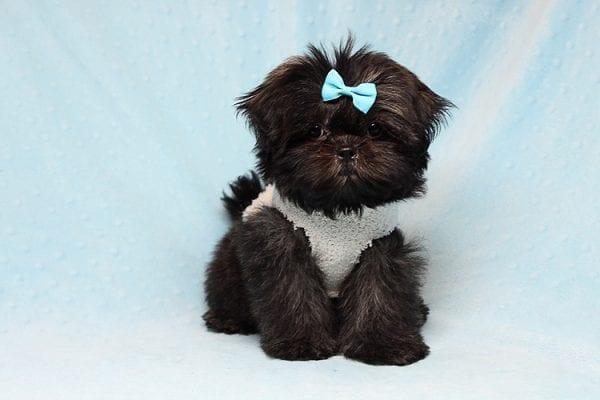 Kanye West - Teacup Shih Tzu Puppy Found His Good Loving Home With Duygu T. In Malibu CA, 90265-24958