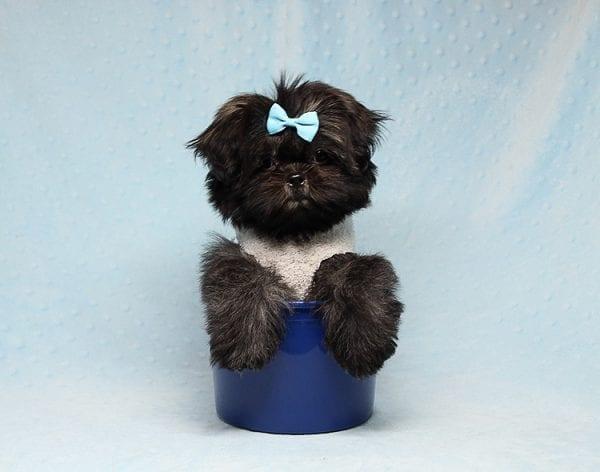Kanye West - Teacup Shih Tzu Puppy Found His Good Loving Home With Duygu T. In Malibu CA, 90265-24948