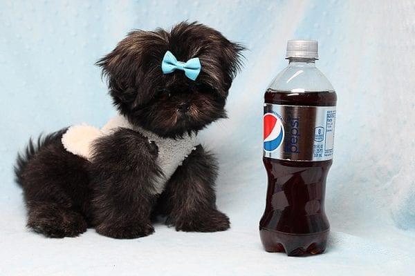 Kanye West - Teacup Shih Tzu Puppy Found His Good Loving Home With Duygu T. In Malibu CA, 90265-24959