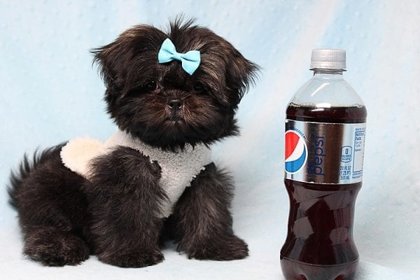 Kanye West - Teacup Shih Tzu Puppy Found His Good Loving Home With Duygu T. In Malibu CA, 90265-24961