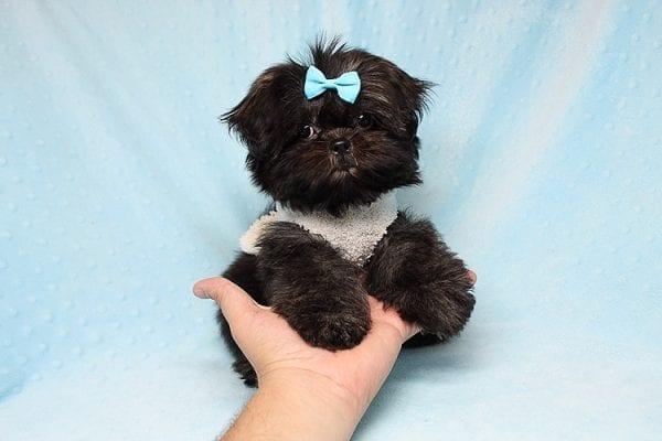 Kanye West - Teacup Shih Tzu Puppy Found His Good Loving Home With Duygu T. In Malibu CA, 90265-24960