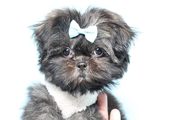 Kanye West - Teacup Shih Tzu Puppy Found His Good Loving Home With Duygu T. In Malibu CA, 90265-24947