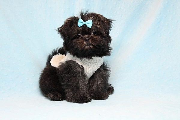 Kanye West - Teacup Shih Tzu Puppy Found His Good Loving Home With Duygu T. In Malibu CA, 90265-24962