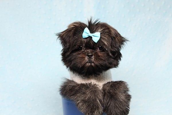 Kanye West - Teacup Shih Tzu Puppy Found His Good Loving Home With Duygu T. In Malibu CA, 90265-24963