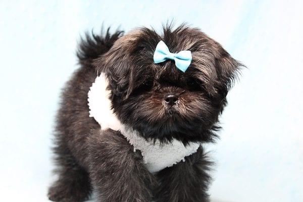 Kanye West - Teacup Shih Tzu Puppy Found His Good Loving Home With Duygu T. In Malibu CA, 90265-24949