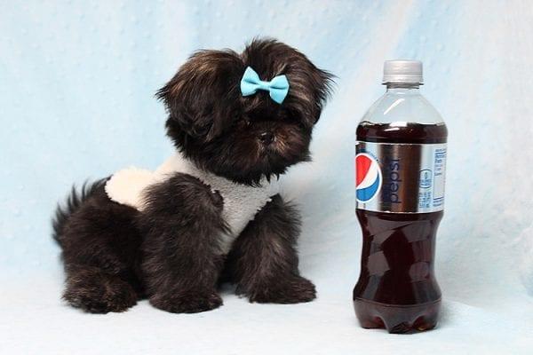 Kanye West - Teacup Shih Tzu Puppy Found His Good Loving Home With Duygu T. In Malibu CA, 90265-24950