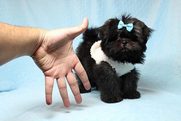 Kanye West - Teacup Shih Tzu Puppy Found His Good Loving Home With Duygu T. In Malibu CA, 90265-24953