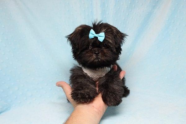 Kanye West - Teacup Shih Tzu Puppy Found His Good Loving Home With Duygu T. In Malibu CA, 90265-24952