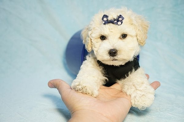 Landrover - Toy Maltipoo Puppy found a home with Araz N from Granada Hills CA 91344-25326