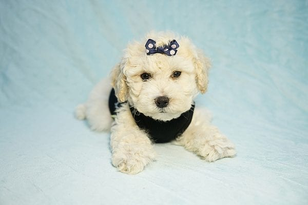 Landrover - Toy Maltipoo Puppy found a home with Araz N from Granada Hills CA 91344-25320