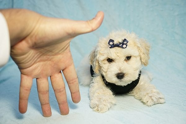 Landrover - Toy Maltipoo Puppy found a home with Araz N from Granada Hills CA 91344-25322