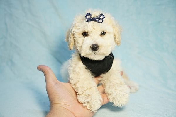 Landrover - Toy Maltipoo Puppy found a home with Araz N from Granada Hills CA 91344-0