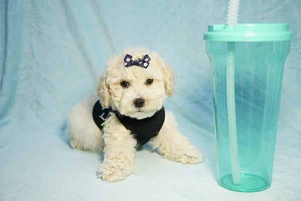 Landrover - Toy Maltipoo Puppy found a home with Araz N from Granada Hills CA 91344-25324