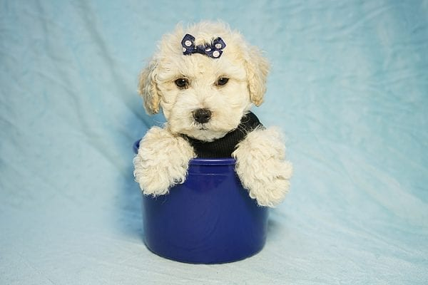 Landrover - Toy Maltipoo Puppy found a home with Araz N from Granada Hills CA 91344-25325