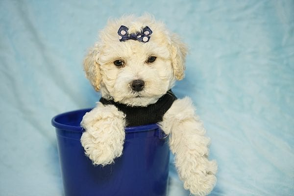 Landrover - Toy Maltipoo Puppy found a home with Araz N from Granada Hills CA 91344-25323