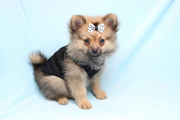 Love Ranger - Toy Pomeranian Found His New Loving Home with Rhonda From San Clemente CA 92673-25169